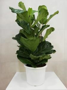 Fidan Burada - Ficus Lyrata-Pandora Kauçuğu- İthal 3lü Dikim Büyük Boy