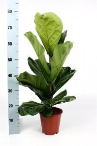 Fidan Burada - Ficus Lyrata-Pandora Kauçuğu- İthal 60-80 Cm