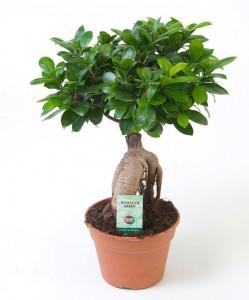 Ücretsiz Kargo - Ficus Microcarpa Ginseng Bonsai 30 Cm