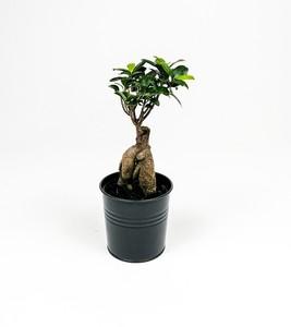 Fidan Burada - Ficus Microcarpa Ginseng Bonsai - Siyah Dekoratif Saksılı 30-40cm