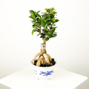 Fidan Burada - Ficus Microcarpa Ginseng Bonsai