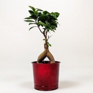 Fidan Burada - Ficus Microcarpa Ginseng Bonsai - Bordo Dekoratif Saksılı 30-40cm