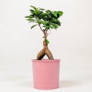 Fidan Burada - Ficus Microcarpa Ginseng Bonsai - Pembe Dekoratif Saksılı 30-40cm