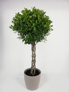 Fidan Burada - Ficus Microcarpa Kafes Örgülü-Salon Bitkisi-120-140 Cm