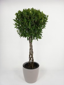 Fidan Burada - Ficus Nitida Kafes Örgülü-Salon Bitkisi-120-140 Cm