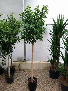 Fidan Burada - Ficus Nitida-Sokak Benjamini-180-200 Cm