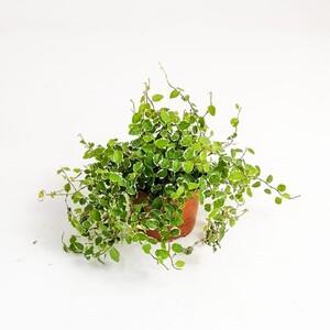Ficus Pumila White Sunny - İthal - Thumbnail