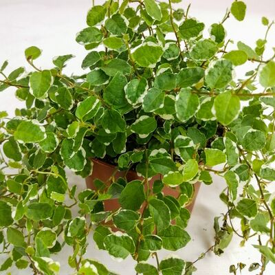 Ficus Pumila White Sunny - İthal