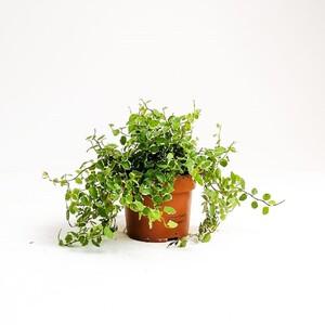 Fidan Burada - Ficus Pumila White Sunny - İthal