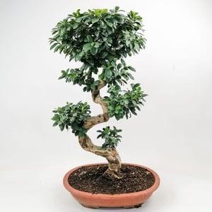 Fidan Burada - Ficus S Bonsai 100 Cm