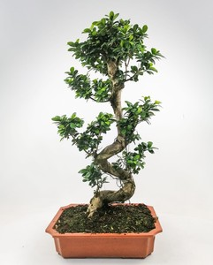 Fidan Burada - Ficus S Bonsai 120 Cm