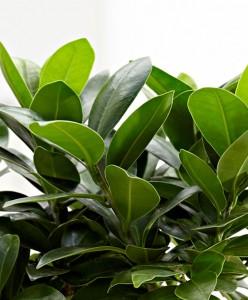 Ficus S Bonsai 50-70cm - Thumbnail