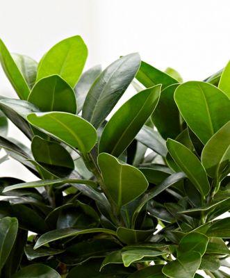 Ficus S Bonsai 50-70cm