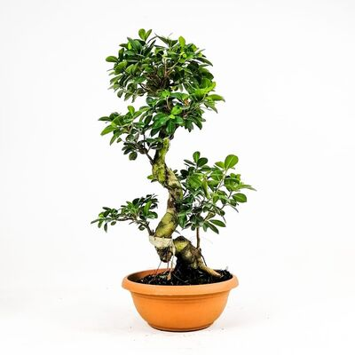 Ficus S Bonsai 70-80 Cm