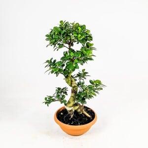 Ficus S Bonsai 70-80 Cm - Thumbnail