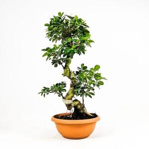 Ücretsiz Kargo - Ficus S Bonsai 70-80 Cm