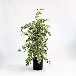Fidan Burada - Ficus Starlight-Alacalı Benjamin Bitkisi 100-120 Cm - Dekoratif Saksılı