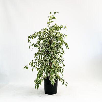 Ficus Starlight-Alacalı Benjamin Bitkisi 100-120 Cm - Dekoratif Saksılı