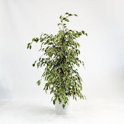 Ficus Starlight-Alacalı Benjamin Bitkisi 120-140 Cm - Dekoratif Saksılı