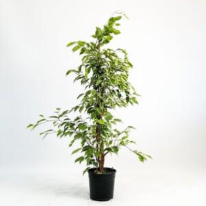 Fidan Burada - Ficus Starlight - Benjamin Bitkisi 80-100 Cm