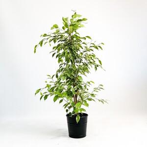 Fidan Burada - Ficus Starlight - Benjamin Bitkisi 80-100 Cm Dekoratif Saksılı