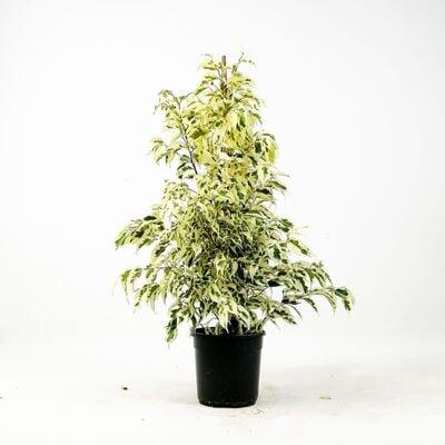 Ficus Starlight Benjamin Bitkisi 80-100cm