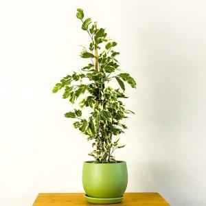 Ficus Starlight Benjamin Bitkisi Mint Yeşili Curvy Saksılı - Thumbnail