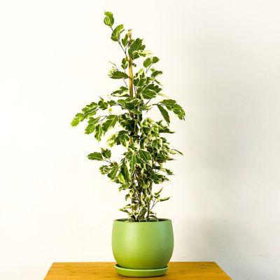 Ficus Starlight Benjamin Bitkisi Mint Yeşili Curvy Saksılı