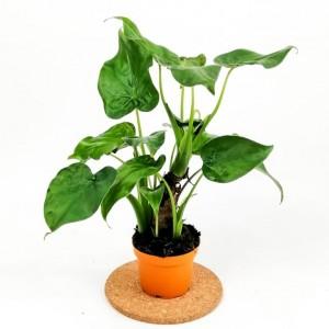 Fidan Burada - Fil Kulağı Bitkisi-Alocasia Cucullata - İthal 40cm