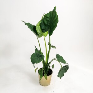 Fidan Burada - Fil Kulağı Bitkisi-Alocasia Cucullata - İthal 80 Cm