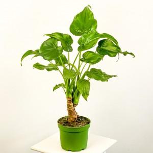 Fidan Burada - Fil Kulağı Bitkisi-Alocasia Cucullata - İthal 60-80cm