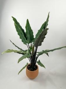 Fidan Burada - Fil Kulağı Bitkisi-Alocasia Lauterbachiana - İthal 90-100 Cm