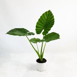 Ücretsiz Kargo - Fil Kulağı Bitkisi - Alocasia Macrorrhizos 100-120cm