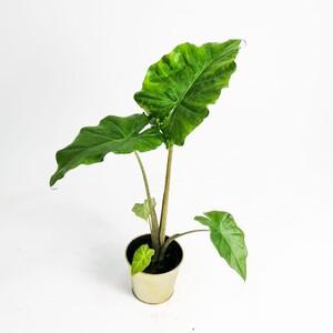 Fidan Burada - Fil Kulağı Bitkisi-Alocasia Portodora 50-60 Cm