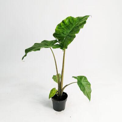 Fil Kulağı Bitkisi-Alocasia Portodora 50-60 Cm