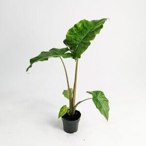 Ücretsiz Kargo - Fil Kulağı Bitkisi-Alocasia Portodora 50-60 Cm