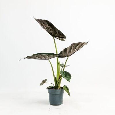 Fil Kulağı Bitkisi-Alocasia Wentii 50-60 Cm