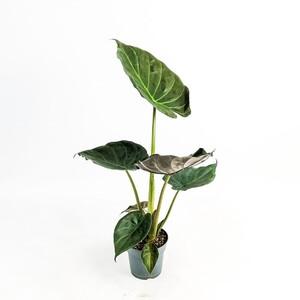 Ücretsiz Kargo - Fil Kulağı Bitkisi-Alocasia Wentii 60-80 Cm