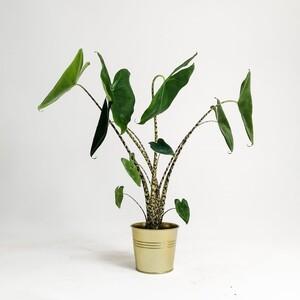 Fidan Burada - Fil Kulağı Bitkisi-Alocasia Zebrina 40-50 Cm