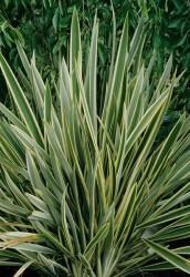 Ücretsiz Kargo - Formium Alacalı (Phormium Tenax Variegata) 40-60 cm
