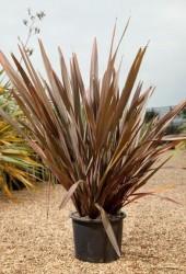 Ücretsiz Kargo - Formium Bordo (Phormium Tenax Atropurpureum) 40-60 cm