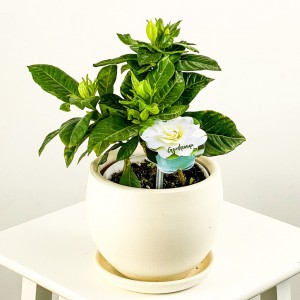 Fidan Burada - Gardenya Çiçeği - Curvy Beyaz Saksılı - Gardenia Jasminoides 20-30 Cm