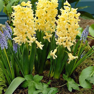 Geel Sarı Sümbül Çiçeği Soğanı-İthal-3 Adet