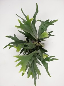 Geyik Boynuzu Bitkisi-Platycerium Bifurcatum-İthal - Thumbnail