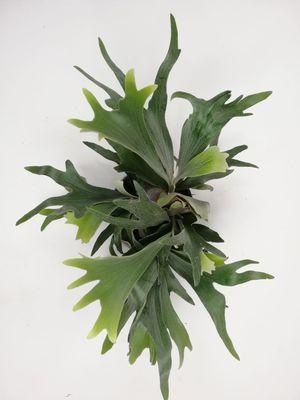 Geyik Boynuzu Bitkisi-Platycerium Bifurcatum-İthal