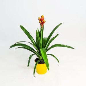 Guzmanya Çiçeği - Guzmania Mixxta - Thumbnail