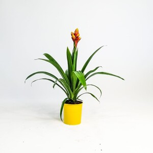 Fidan Burada - Guzmanya Çiçeği - Guzmania Mixxta