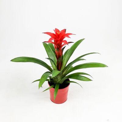 Guzmanya Çiçeği Kırmızı - Guzmania Calypso -Kırmızı Dekoratif Saksılı