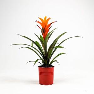 Fidan Burada - Guzmanya Çiçeği Turuncu Guzmania 40-50 Cm
