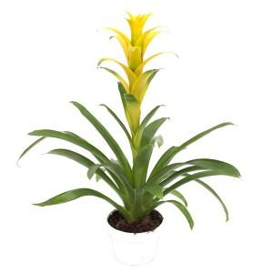 Fidan Burada - Guzmanya Çiçeği Sarı Guzmania 40-50 Cm
